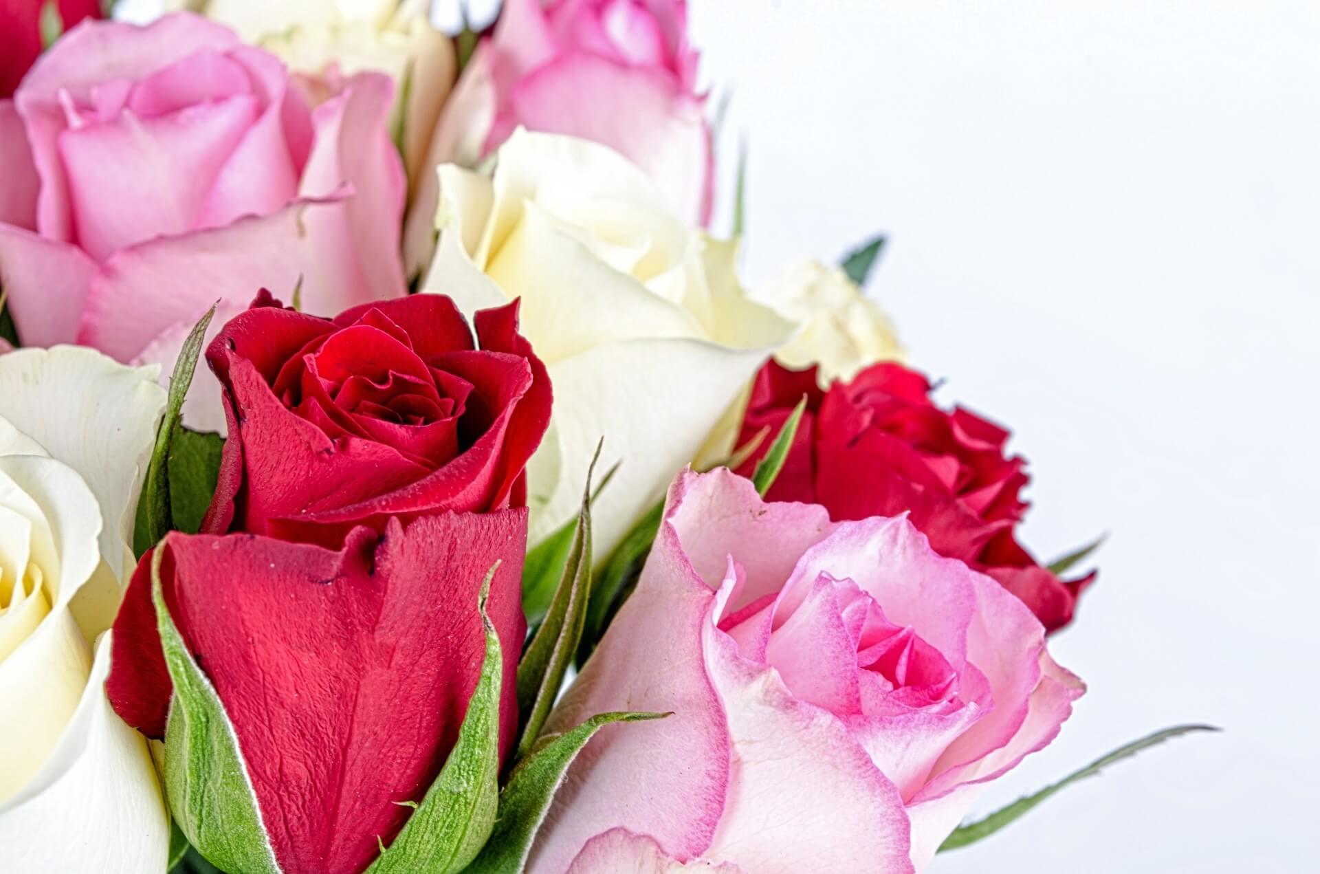roseflower-316621
