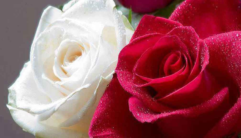 white-and-red-rose-image