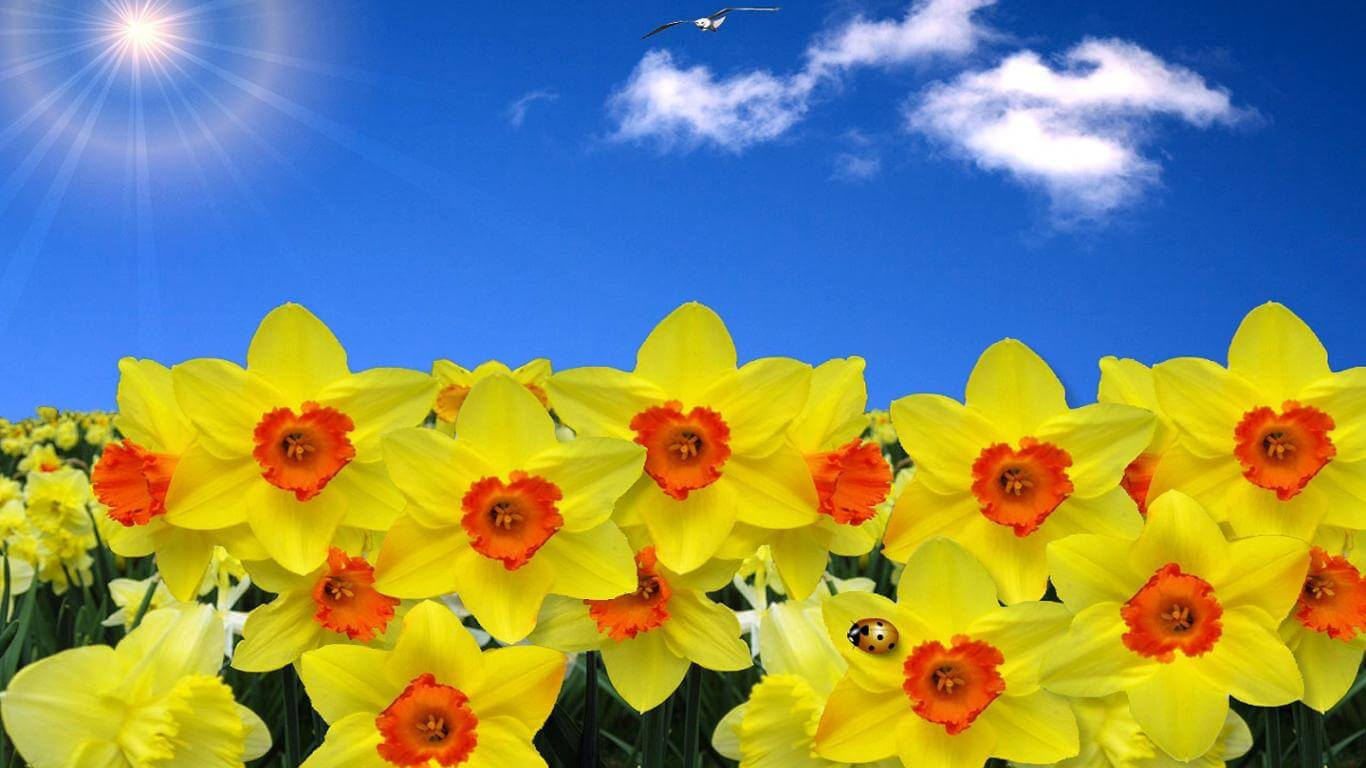 daffodils-wallpaper-5